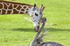 giraffe ostrich
